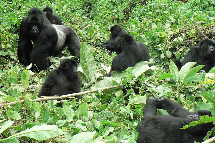 Gorilla Trekking Suprise