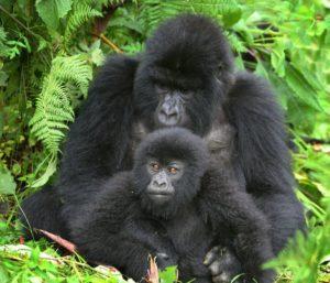 Mountain Gorillas in Bwindi Forest