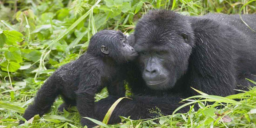 mgahinga gorilla tracking